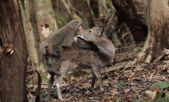 鹿が猿の毛繕いを 屋久島