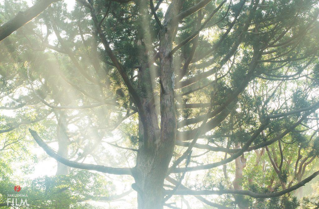濃霧の森に光さす 屋久島
